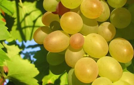 Чем же полезен виноград?