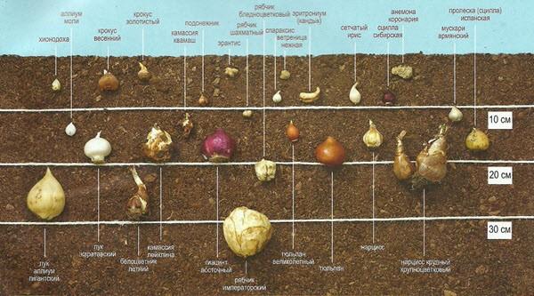 сажать луковичные