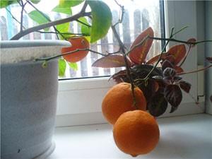 Как ухаживать зимой за цитрусовыми деревцами