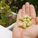 Белая шелковица - природный препарат