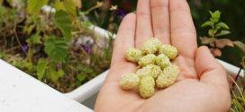 Белая шелковица — природный препарат для лечения диабета и гипертонии